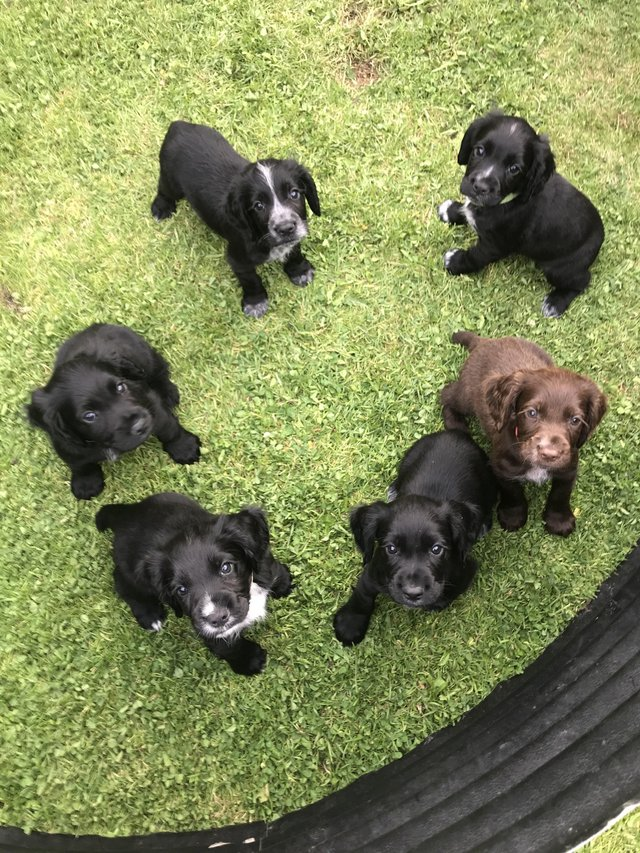 Image 5 of Working cocker spaniel puppies