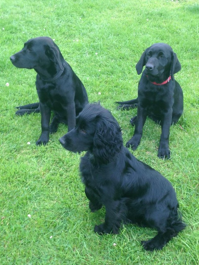 Image 8 of Working cocker spaniel puppies