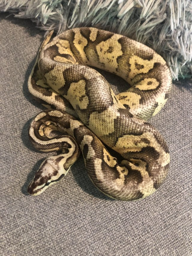 Image 2 of Royal pythons for sale female and male