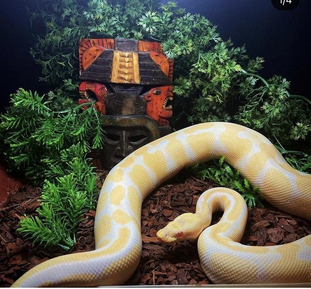 Image 3 of Royal pythons for sale female and male