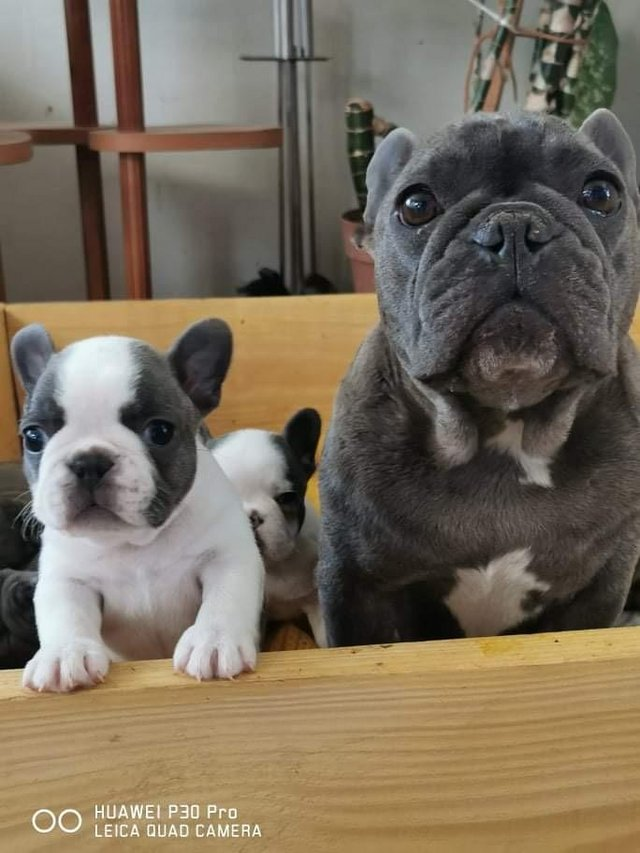 Image 5 of French bulldog puppy looking for a new home