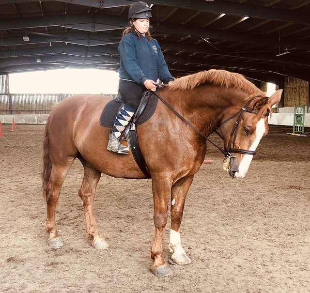 Preview of the first image of 18hh Class1 ID gelding suitable for complete beginner.