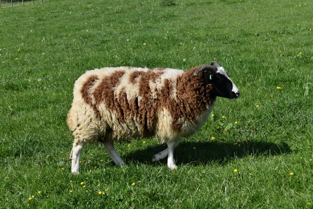 Preview of the first image of JACOBS SHEEP MULTICOLOURED FLEECE.