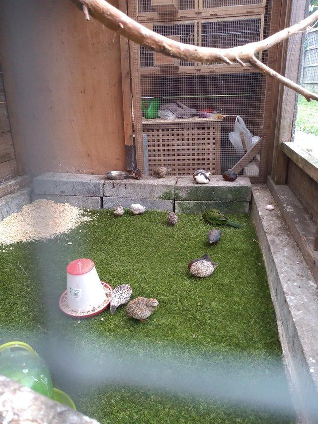 Preview of the first image of Chinese painted quails.