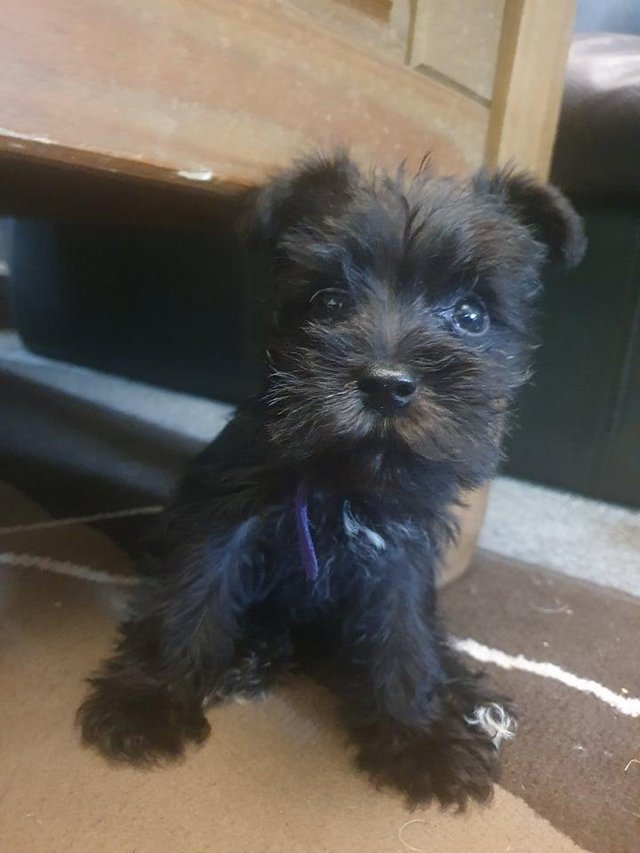 Preview of the first image of MINIATURE SCHNAUZER PUPS FOR SALE.