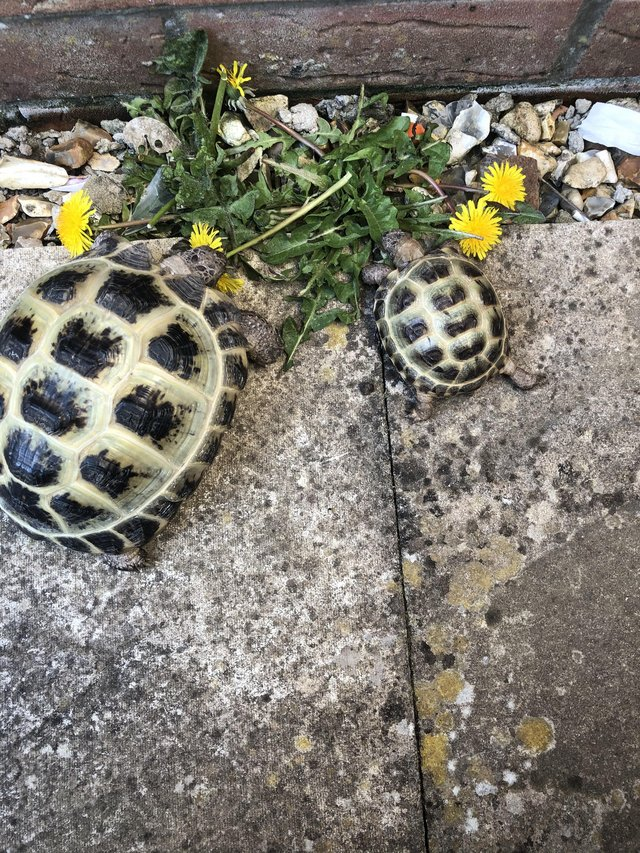 Preview of the first image of Horsefield tortoises boy and a girl.
