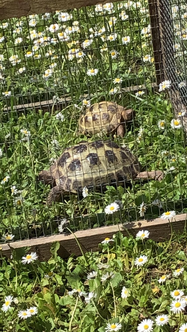 Image 2 of Horsefield tortoises boy and a girl