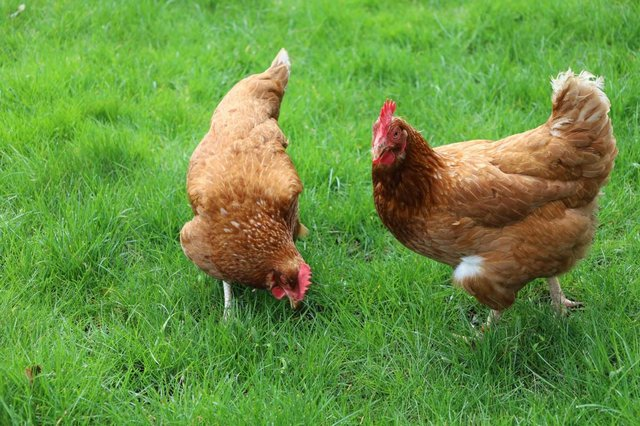 Preview of the first image of Brown Hybrid Laying Warren Hens.
