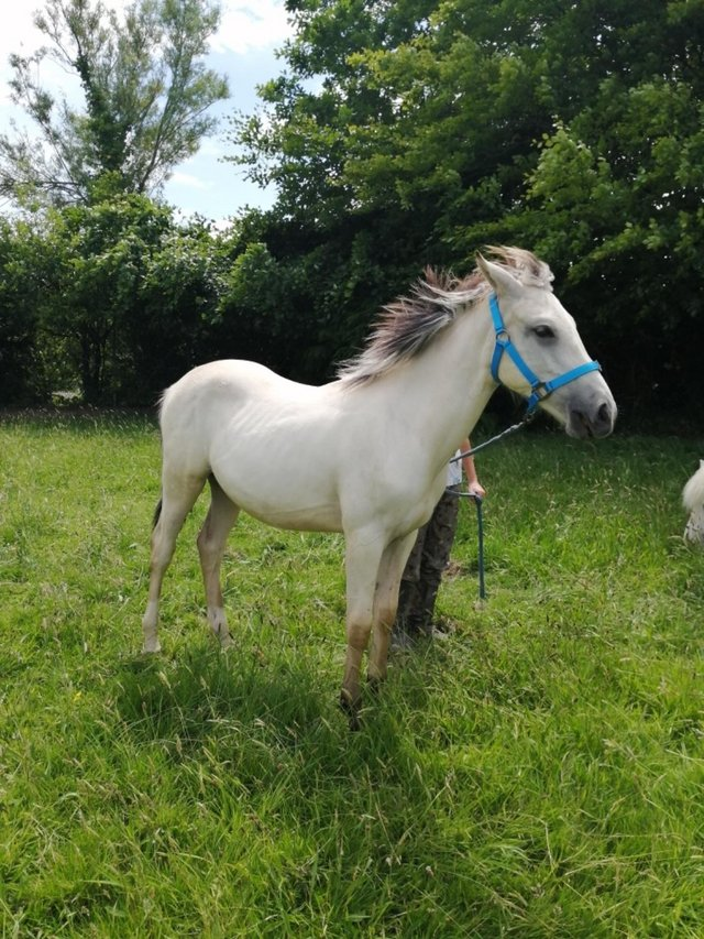Image 3 of Beautiful pre fusion gelding yearling