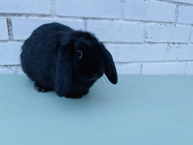 Preview of the first image of Here I have beautiful mini lop doe.