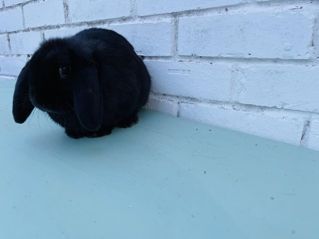 Image 3 of Here I have beautiful mini lop doe