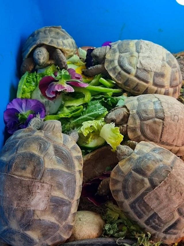 Preview of the first image of Baby Spur Thigh Tortoise - 2 LEFT.