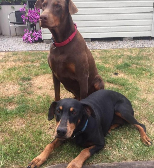 Image 14 of KC Registered Beautiful Dobermann puppies ready August 2021