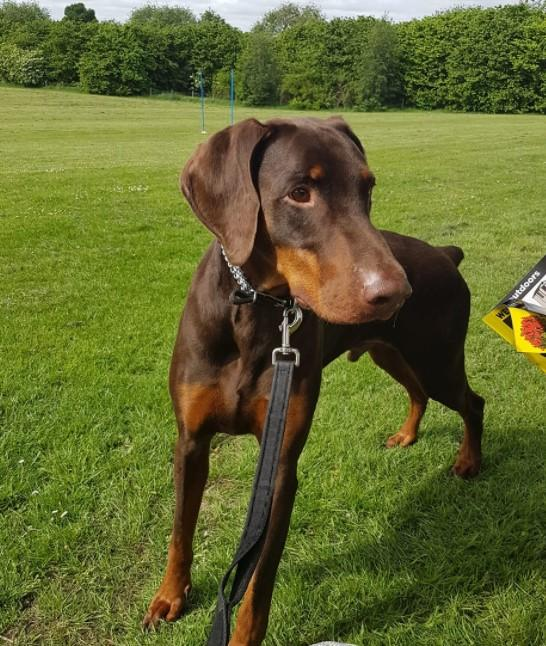 Image 15 of KC Registered Beautiful Dobermann puppies ready August 2021