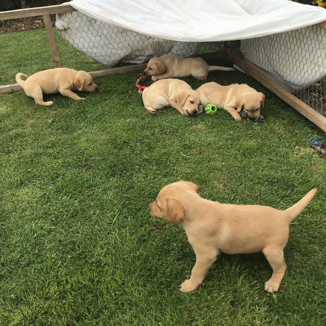 Image 3 of KC registered yellow Labrador puppies