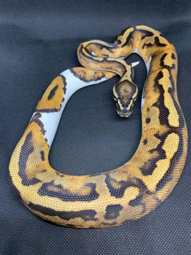 Preview of the first image of MALE PIED (PIEBALD) BALL PYTHON.