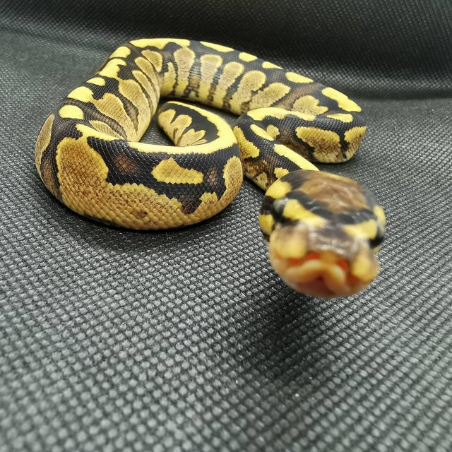 Image 2 of Various royal pythons for sale