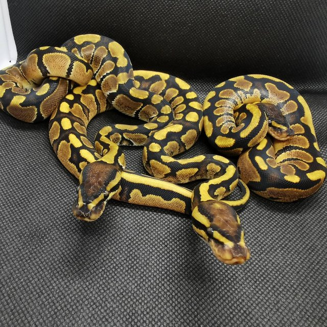 Image 3 of Various royal pythons for sale