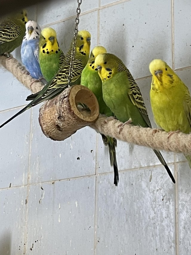 Preview of the first image of Young Budgies for sale all BS rung 2020.