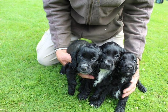 Preview of the first image of SUPER, KENNEL CLUB REGISTERED COCKER SPANIEL PUPS.