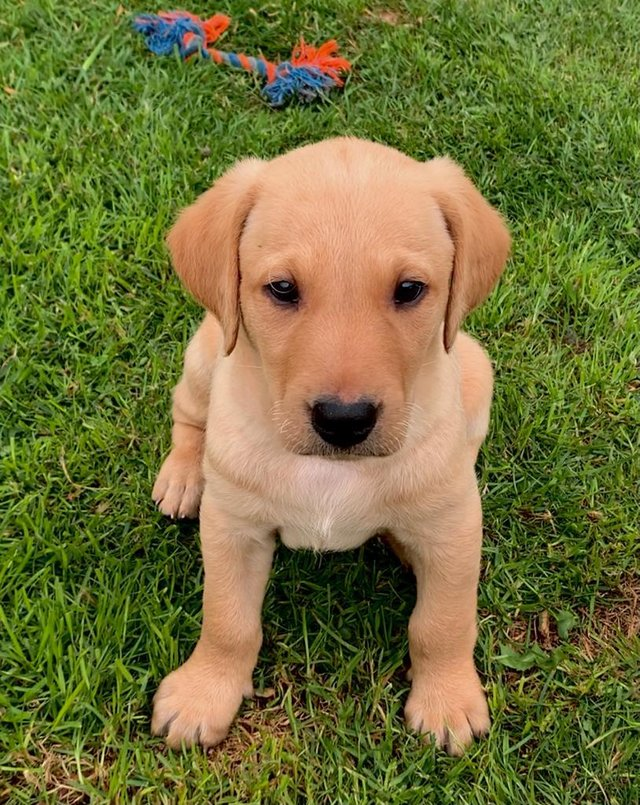 Image 4 of KC registered yellow Labrador puppies
