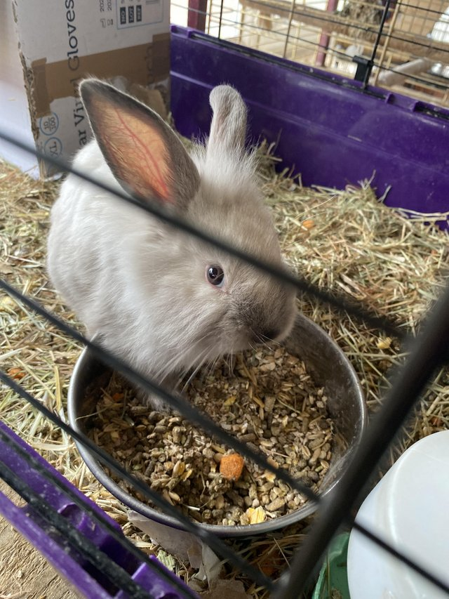 Image 2 of Baby Lionhead x rabbits Ready to go