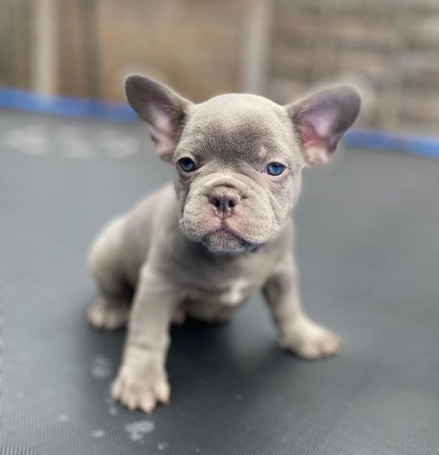 Image 4 of KC French bulldog puppies - READY TO LEAVE