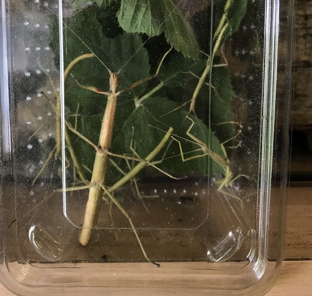 Preview of the first image of Indian stick insects.