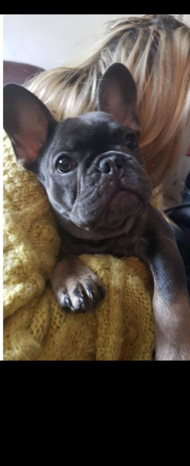 Preview of the first image of Beautiful French bulldog girl.