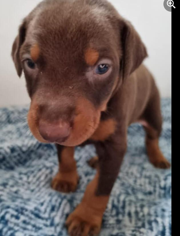 Image 16 of KC Registered Beautiful Dobermann puppies ready August 2021
