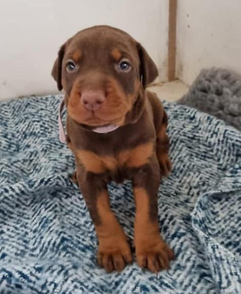 Image 18 of KC Registered Beautiful Dobermann puppies ready August 2021