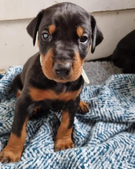 Image 19 of KC Registered Beautiful Dobermann puppies ready August 2021