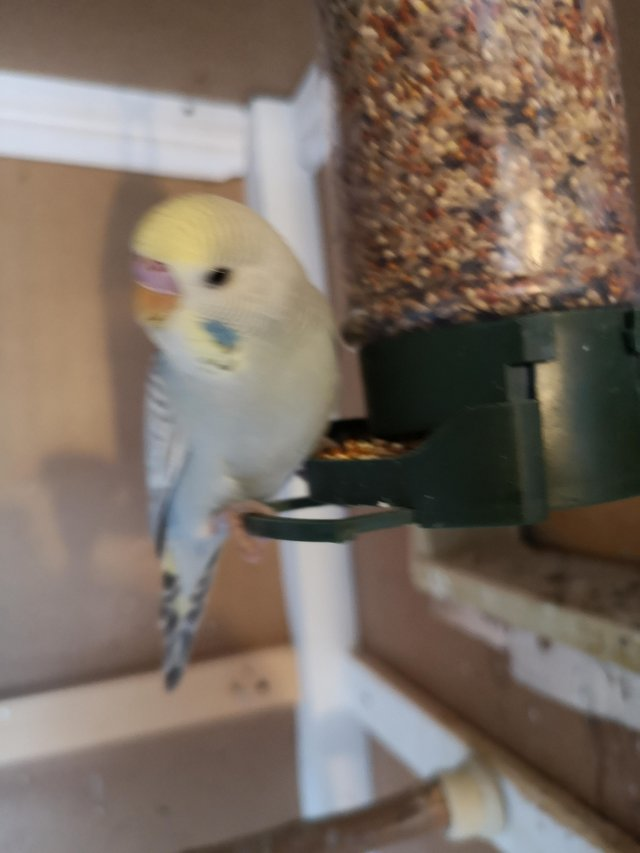 Preview of the first image of Budgie and breading budgies with boxes.