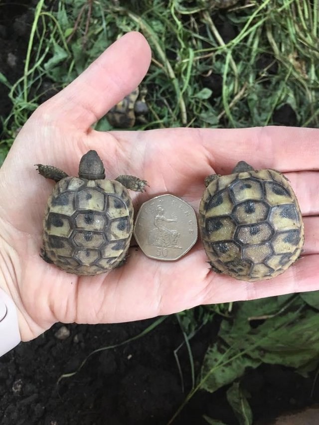 Preview of the first image of Hermann Tortoise hatchlings for sale.