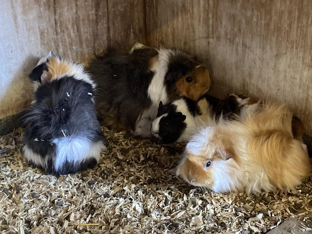 Preview of the first image of Guinea pigs baby's for sale Ready now.