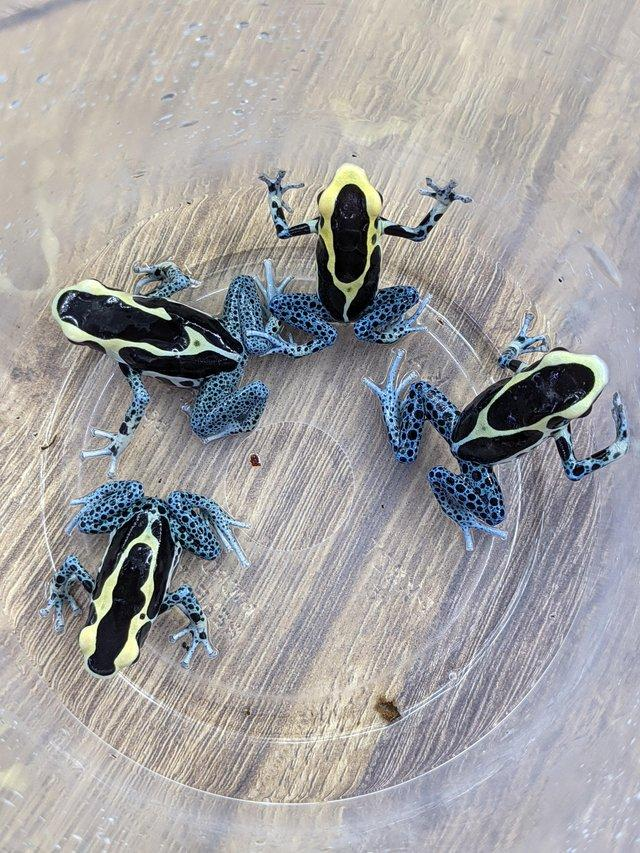 Preview of the first image of dart frog Tinctorius Powder blue.