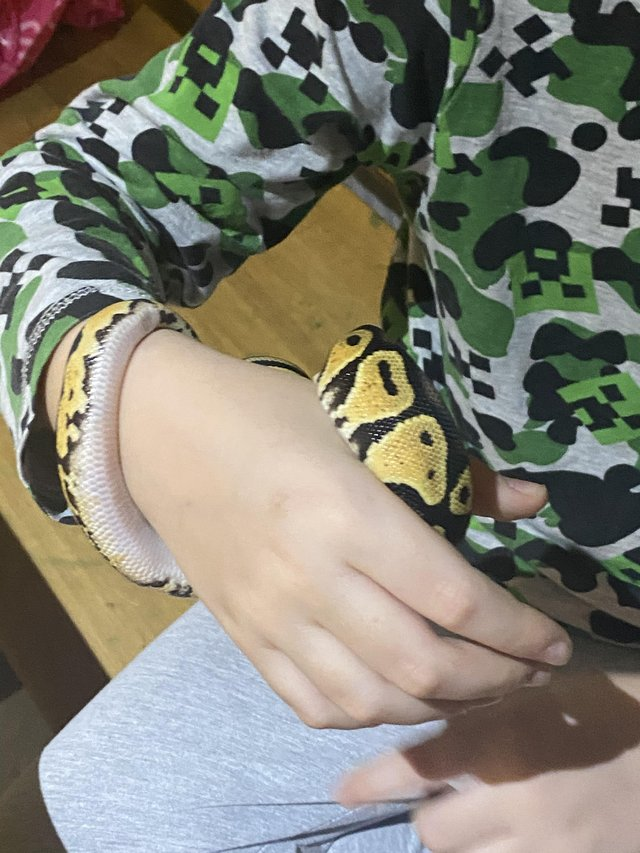 Preview of the first image of Beautiful young female Royal/Ball Pastel morph Python.