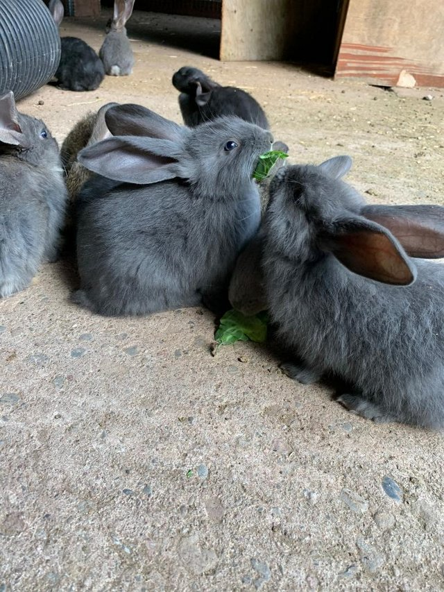 Image 2 of Vaccinated Continental Giant baby Rabbits