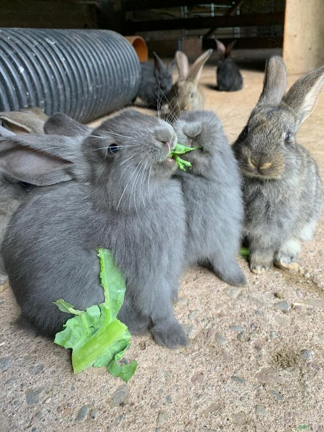Image 3 of Vaccinated Continental Giant baby Rabbits