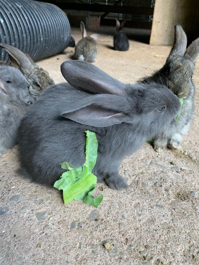 Image 4 of Vaccinated Continental Giant baby Rabbits