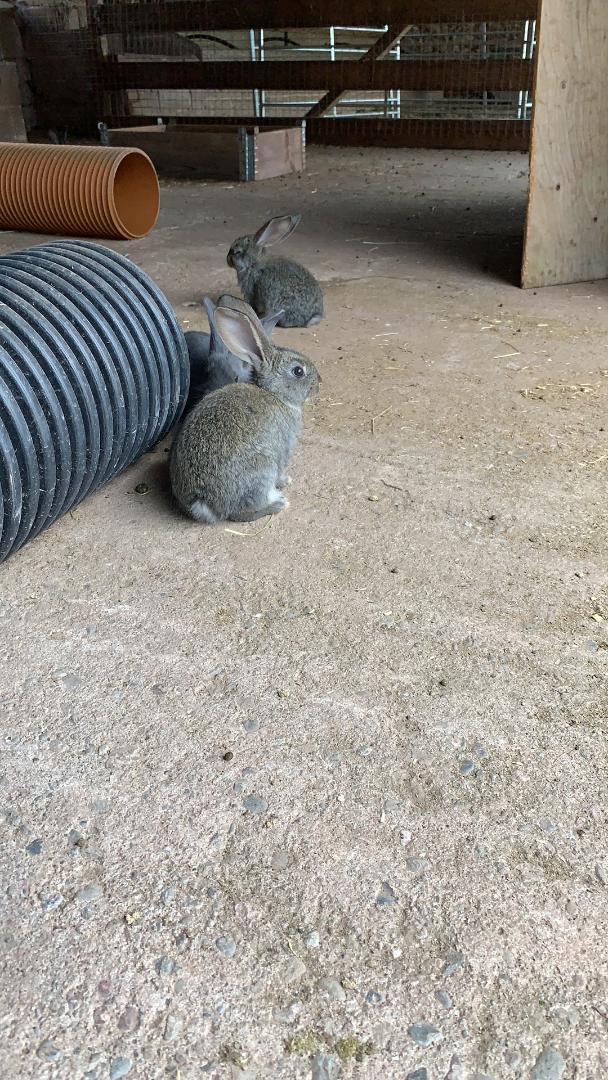 Image 5 of Vaccinated Continental Giant baby Rabbits
