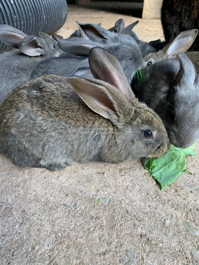 Image 6 of Vaccinated Continental Giant baby Rabbits
