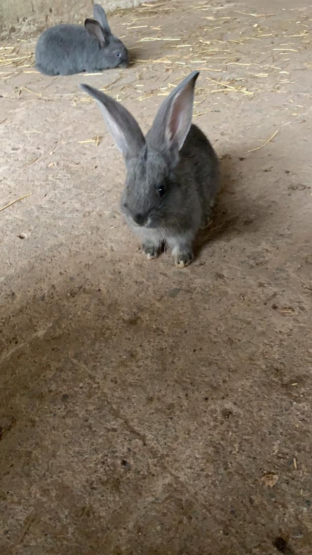 Image 7 of Vaccinated Continental Giant baby Rabbits