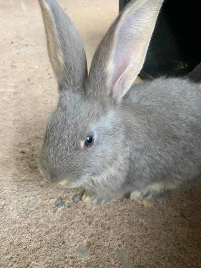 Preview of the first image of Vaccinated Continental Giant baby Rabbits.