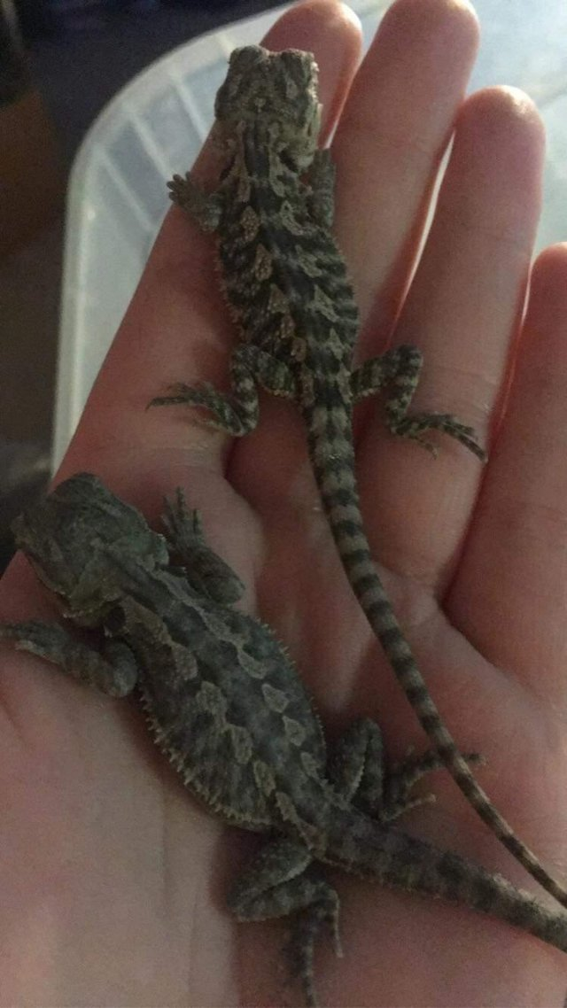 Image 2 of Baby bearded dragons, can deliver