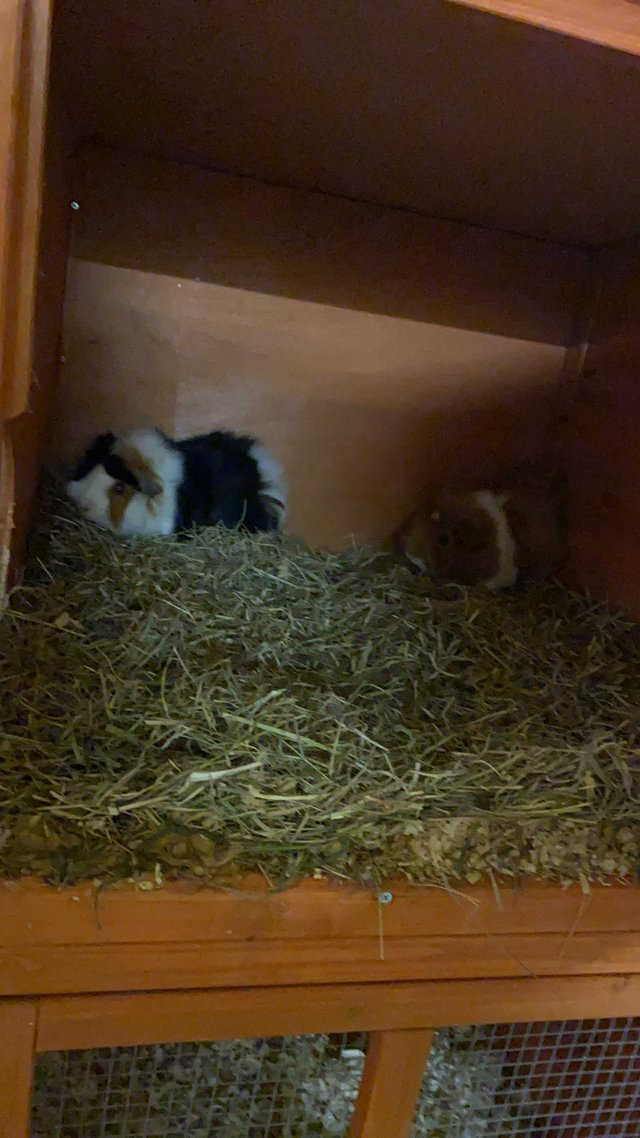 Image 2 of All Guinea pigs rehomed to loving home