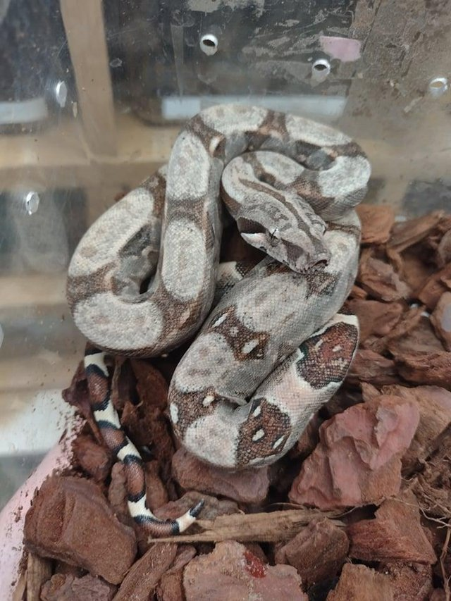 Preview of the first image of BABY COMMON BOAS AVAILABLE VARIOUS.