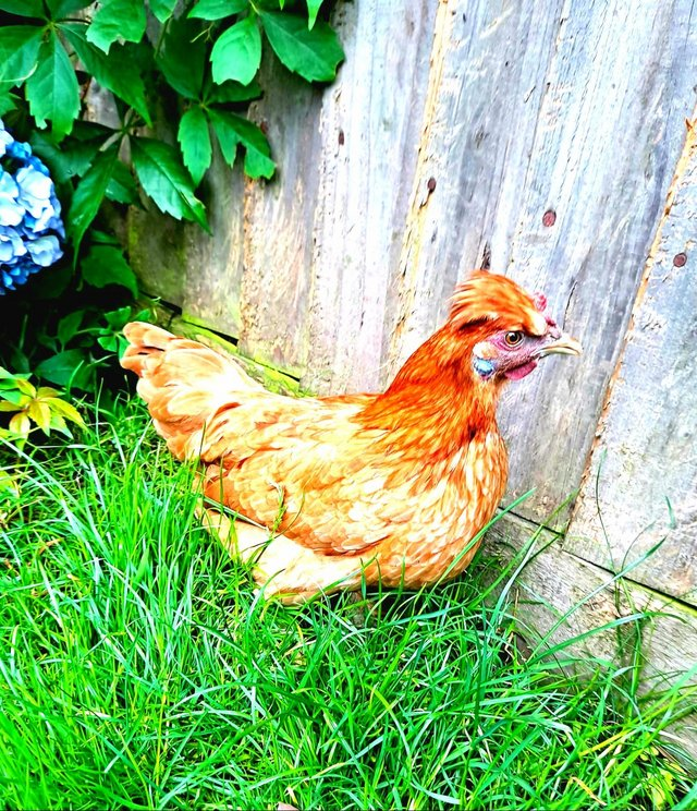 Image 2 of Hens, pullet bantam chickens available