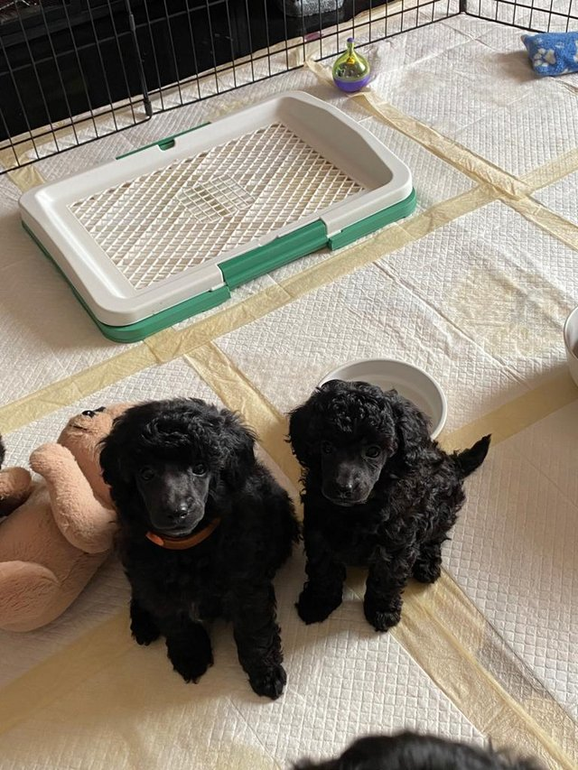 Image 2 of SMALL KC Registered Toy Poodle puppy