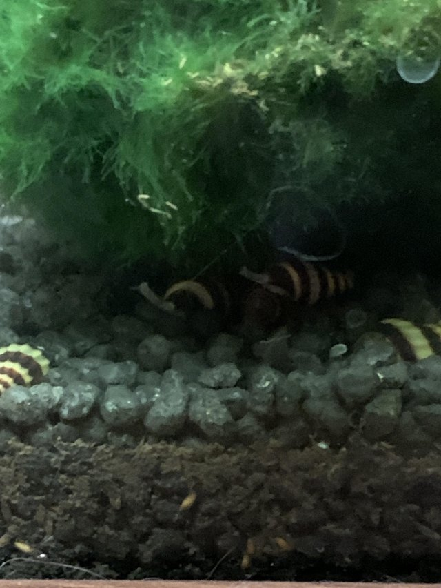 Preview of the first image of Assassin snails.